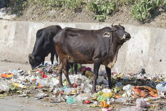 Krowa je banialuki w Rishikesh, India Zdjęcia Stock