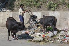 Krowa je banialuki w Rishikesh, India Zdjęcie Stock