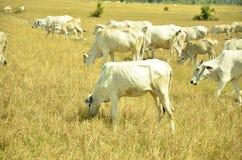 Krowa je ryżową słomę Obrazy Royalty Free