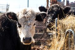 Krowa je siano Bydlę uprawia ziemię na rodzinnym gospodarstwie rolnym Szczegół głowa krowa target414_0_ organicznie Zdjęcie Stock