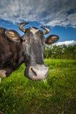 Krowa je trawy Fotografia Royalty Free