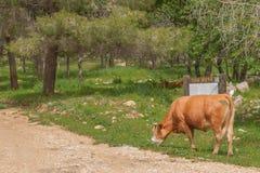 Krowa je trawy w lesie Obraz Royalty Free