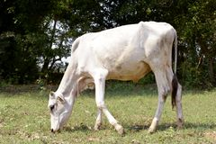 Krowa je trawy w polu fotografia stock