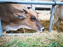 Krowa jest w trawie Obrazy Royalty Free