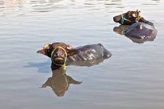 krowa jezioro odpoczynek Zdjęcie Stock