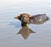 krowa jezioro odpoczynek Zdjęcia Stock