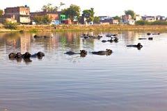 krowa jezioro odpoczynek Fotografia Royalty Free