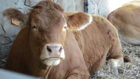 Krowa kłama na ziemi i żuć zbiory wideo