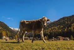 Krowa kaganiec na łące na polu w Szwajcaria na tle Szwajcarscy Alps Zdjęcie Stock