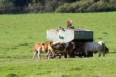 Krowa komes pić wodę Zdjęcie Royalty Free