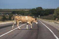 Krowa krzyżuje drogę Zdjęcia Royalty Free
