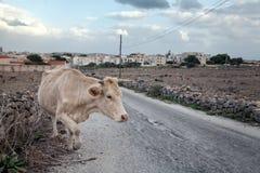 Krowa krzyżuje sicilian drogę Zdjęcie Royalty Free