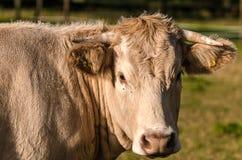 Krowa która jest przyglądająca my Zdjęcie Royalty Free