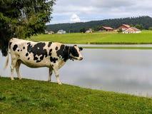 Krowa, Lac des Thaillère, Szwajcaria Obraz Stock