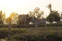 Krowa liże wełny młoda krowa czyścić w wieczór Fotografia Stock