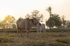 Krowa liże wełny młoda krowa czyścić w wieczór Fotografia Royalty Free