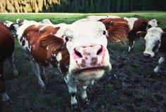 krowa śmieszna zdjęcia royalty free