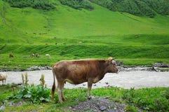 krowa myśleć na trawie zdjęcie royalty free