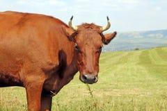 Krowa na łące Zdjęcie Stock
