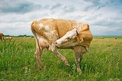 Krowa na łące obraz stock