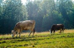 Krowa na łące Fotografia Royalty Free
