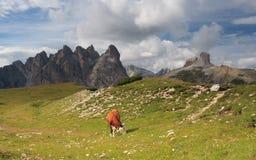 Krowa na łące, Dolomity Zdjęcia Royalty Free