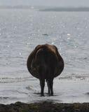 Krowa na banku Fotografia Royalty Free