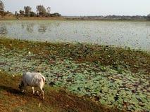 Krowa Na banku jezioro przyjemny Zdjęcia Royalty Free