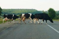 Krowa na drodze Obrazy Stock