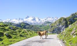 Krowa na drodze Fotografia Stock