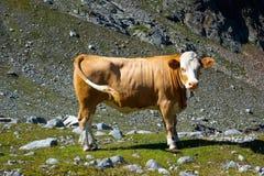 Krowa na halnej łące Zdjęcia Stock