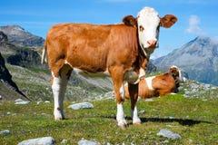 Krowa na halnej łące Fotografia Royalty Free