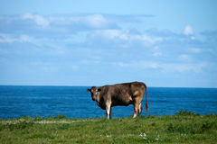 krowa na horyzoncie Obraz Royalty Free