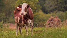 Krowa na ??kowym pasaniu trawa Oranic mleka pojęcie Uprawia? ziemi? t?o Zielona turystyka eco styl ?ycia Zdrowy zbiory