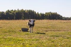 Krowa na paśniku zdjęcie royalty free