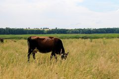 Krowa na paśniku Zdjęcia Royalty Free