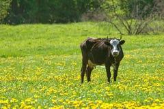 Krowa na paśniku Obraz Stock