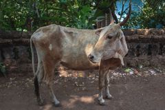 Krowa na Pi?knej Tropikalnej pla?y, Goa, India fotografia stock