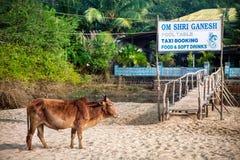 Krowa na plaży Fotografia Royalty Free