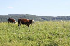 Krowa na polu Obrazy Royalty Free