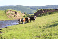 Krowa na polu Fotografia Stock