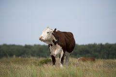 Krowa na polu Fotografia Royalty Free