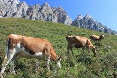 Krowa na tle góry Fotografia Royalty Free