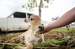 Krowa na trawie w India Indiański podróży photoshoot Naturalny tło Indiański święty zwierzę Śliczny portret krowa Młoda łydka Obraz Royalty Free