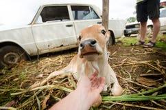 Krowa na trawie w India Indiański podróży photoshoot Naturalny tło Indiański święty zwierzę Śliczny portret krowa Młoda łydka Fotografia Royalty Free