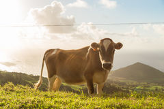 Krowa na trawie z światłem słonecznym Fotografia Stock