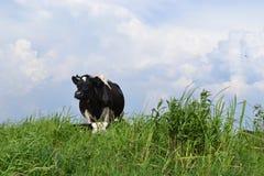 Krowa na zielonej łące Zdjęcie Stock