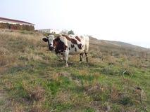 krowa na zielonej i żółtej trawie Zdjęcia Royalty Free