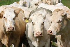 krowa nabiał Zdjęcia Royalty Free
