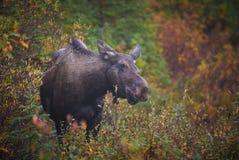 Krowa łoś amerykański Zdjęcia Stock